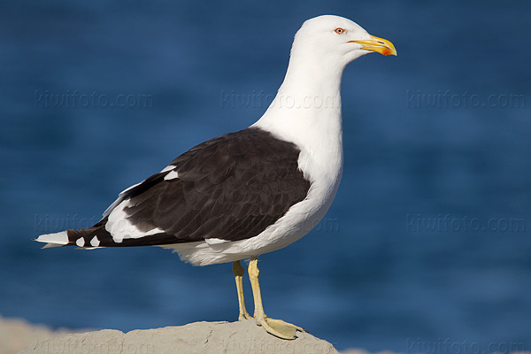 Kelp Gull (Southern Black-backed Gull 'Karoro')
