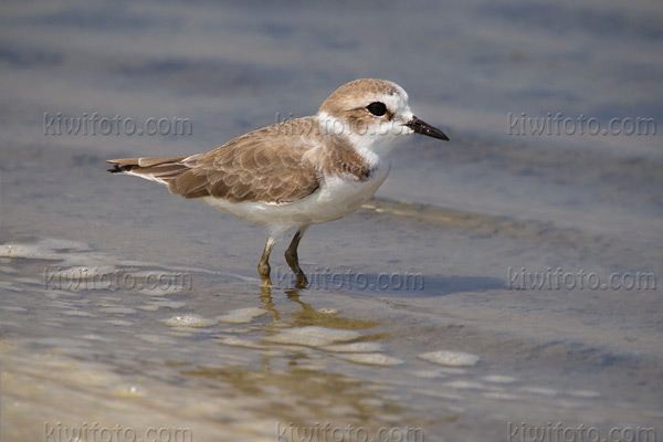 Kentish Plover Photo @ Kiwifoto.com