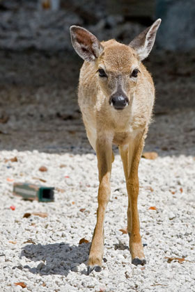 Key Deer Picture @ Kiwifoto.com