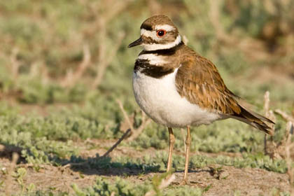 Killdeer Picture @ Kiwifoto.com