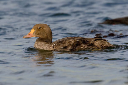 King Eider Photo @ Kiwifoto.com