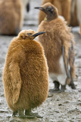 King Penguin Picture @ Kiwifoto.com