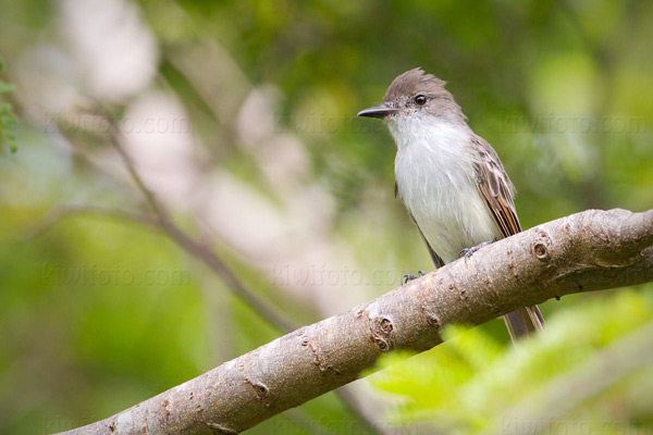 La Sagra's Flycatcher Photo @ Kiwifoto.com