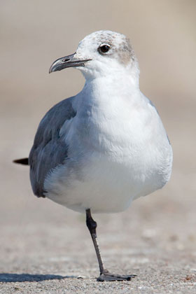Laughing Gull Picture @ Kiwifoto.com