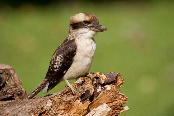 Laughing Kookaburra Photo @ Kiwifoto.com