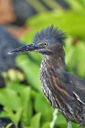 Lava Heron Photo @ Kiwifoto.com