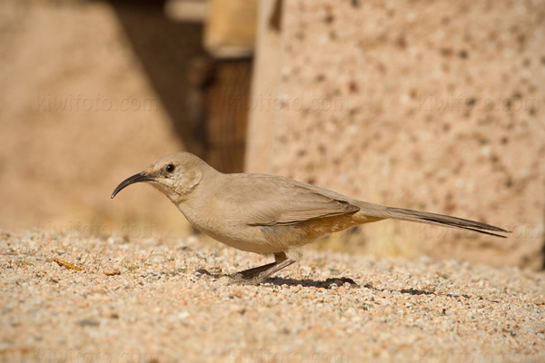 Le Conte's Thrasher Photo @ Kiwifoto.com