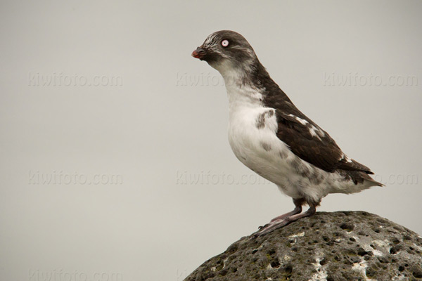 Least Auklet Photo @ Kiwifoto.com