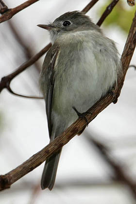 Least Flycatcher Photo @ Kiwifoto.com