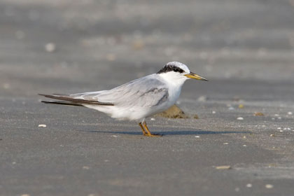 Least Tern (S.a. athalassos)