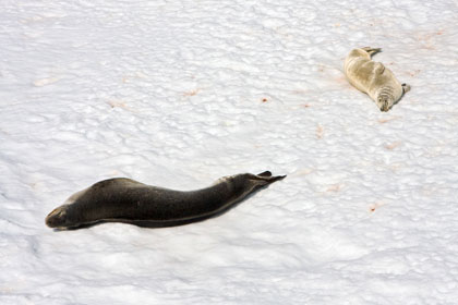 Crabeater Seal (Leopard and Crabeater Seal)