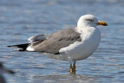 Lesser Black-backed Gull Image @ Kiwifoto.com