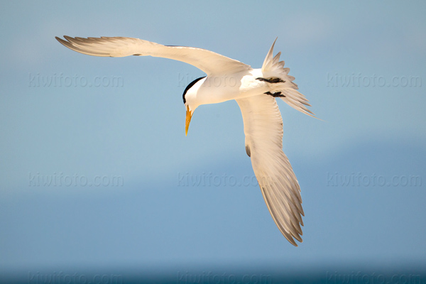 Lesser Crested Tern Picture @ Kiwifoto.com