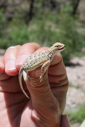 Lesser Earless Lizard