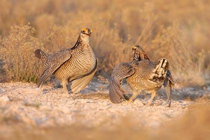 Lesser Prairie Chickens sparring