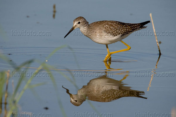 Lesser Yellowlegs Picture @ Kiwifoto.com