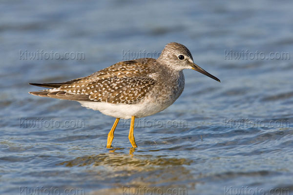 Lesser Yellowlegs Photo @ Kiwifoto.com