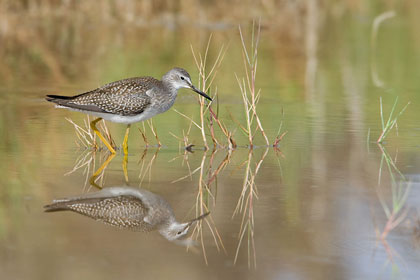 Lesser Yellowlegs Image @ Kiwifoto.com