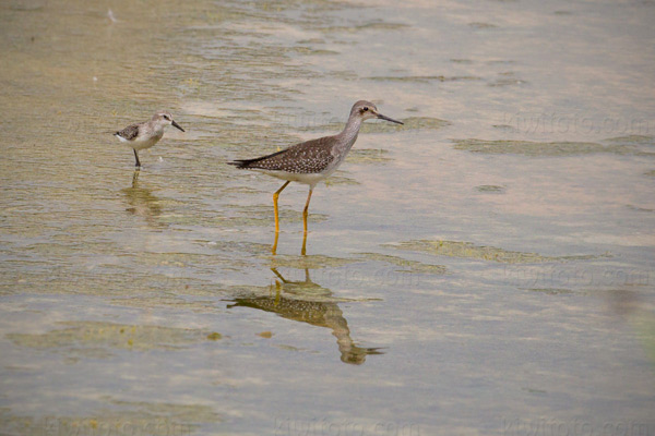 Lesser Yellowlegs (w/Western Sandpiper)