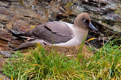 Light-mantled Albatross Picture @ Kiwifoto.com