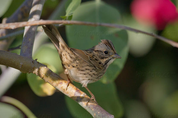 Lincoln's Sparrow Photo @ Kiwifoto.com