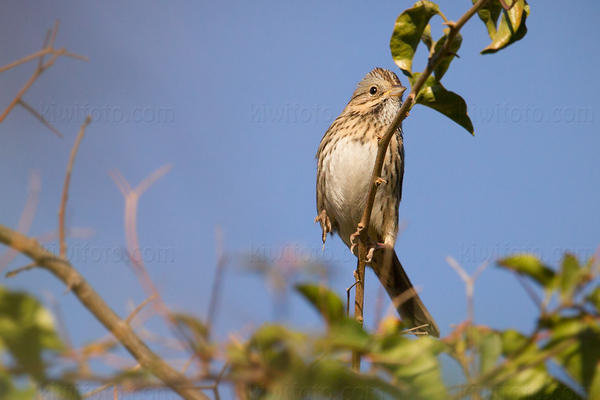 Lincoln's Sparrow Picture @ Kiwifoto.com