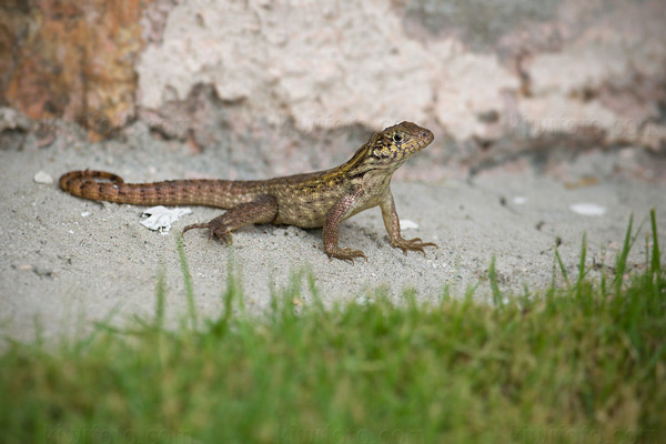 Little Bahama Curly-tailed Lizard (L. carinatus armouri)