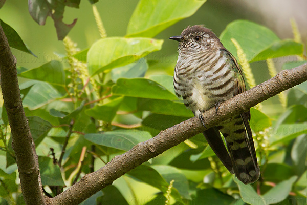 Little Bronze-cuckoo Picture @ Kiwifoto.com