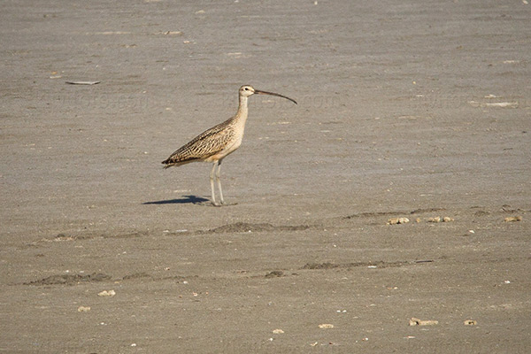 Long-billed Curlew Photo @ Kiwifoto.com