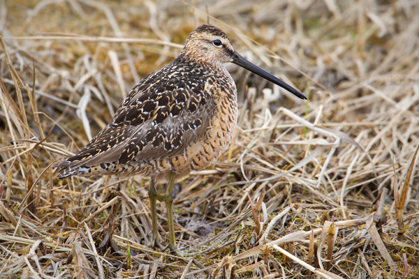 Long-billed Dowitcher Picture @ Kiwifoto.com