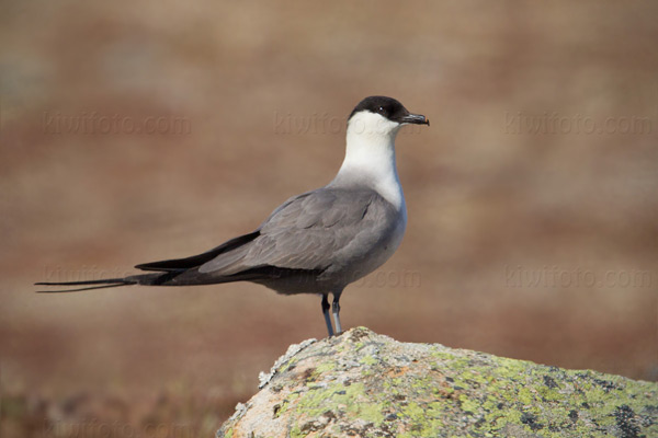 Long-tailed Jaeger Picture @ Kiwifoto.com