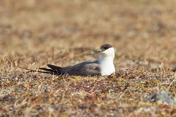 Long-tailed Jaeger Photo @ Kiwifoto.com