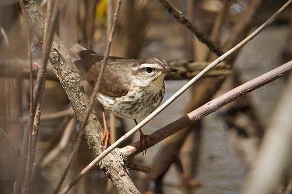 Louisiana Waterthrush Picture @ Kiwifoto.com
