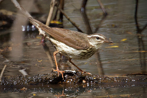 Louisiana Waterthrush Image @ Kiwifoto.com