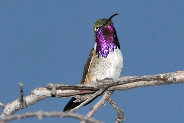 Lucifer Hummingbird Photo @ Kiwifoto.com
