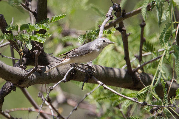 Lucy's Warbler Photo @ Kiwifoto.com