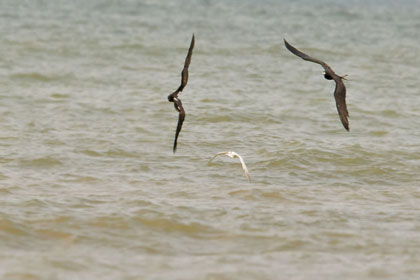 Magnificent Frigatebird (chasing Royal Tern)