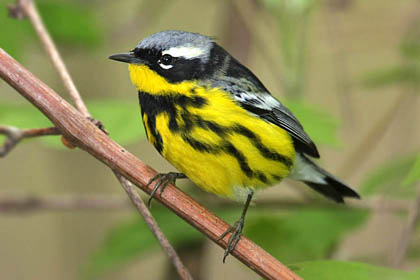 Magnolia Warbler Photo @ Kiwifoto.com