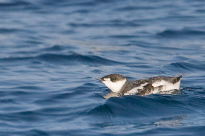 Marbled Murrelet Photo @ Kiwifoto.com