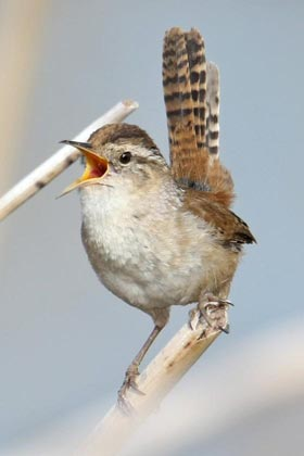 Marsh Wren Photo @ Kiwifoto.com