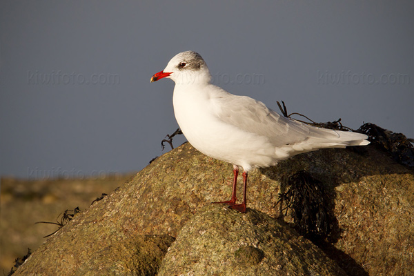 Mediterranean Gull Photo @ Kiwifoto.com