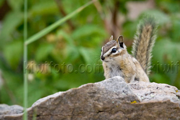 Merriam's Chipmunk Picture @ Kiwifoto.com