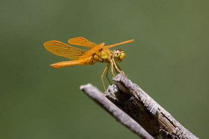 Mexican Amberwing Photo @ Kiwifoto.com