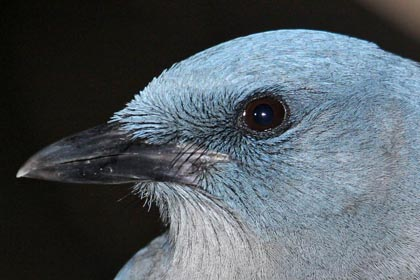 Mexican Jay Picture @ Kiwifoto.com