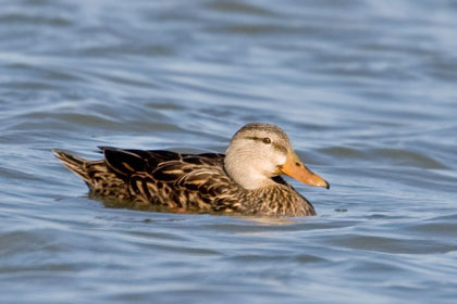 Mottled Duck Picture @ Kiwifoto.com