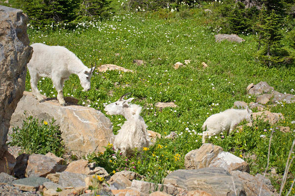 Mountain Goat @ Glacier National Park, Montana