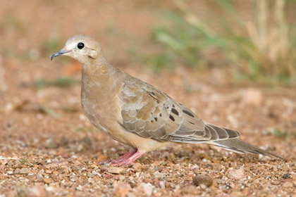Mourning Dove Picture @ Kiwifoto.com