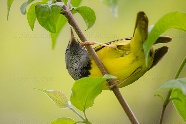 Mourning Warbler Photo @ Kiwifoto.com