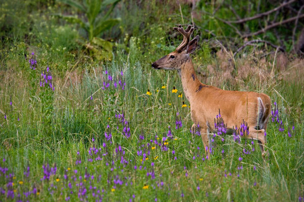 Mule Deer Photo @ Kiwifoto.com