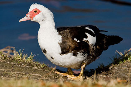 Muscovy Duck Photo @ Kiwifoto.com